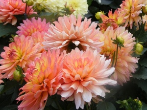 """Pink Dahlias by Sophiea 2007"""