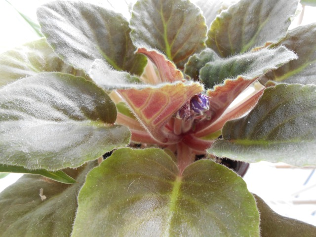 Buds on my African Violet