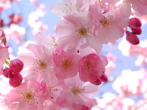 cherryblossomgirlpicforlayout