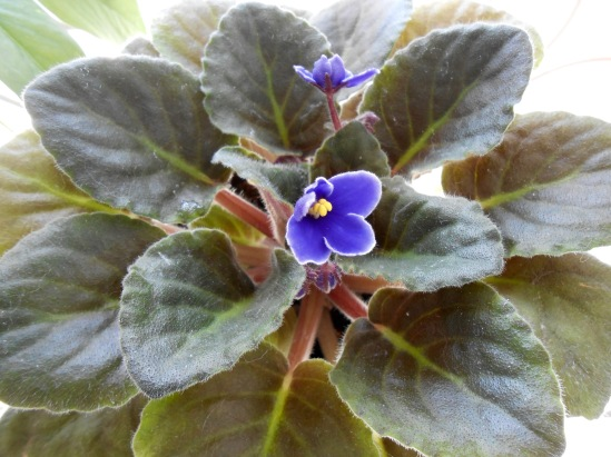 my African violet