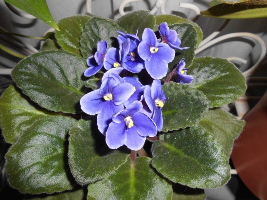"""""""African Violets 4-12-16"""""""